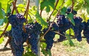 piedmont_grapes